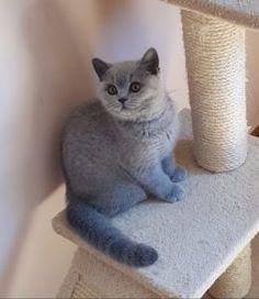 Pisici British Shorthair – Pui british shorthair British Shorthair, Panther, Fur, Cats, Animals, Saint Petersburg, Gatos, Animales, Animaux