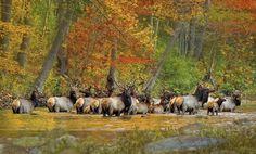 elk crossing the Buffalo River Ponca, Arkansas