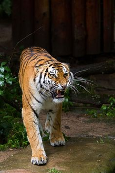 Tigers growl when they feel threatened.