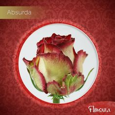 """Bicolor cream with crimson red, meet Absurda. It is """"absurdly"""" beautiful and exceptional. Organic Roses, Meet, Cream, Beautiful, Creme Caramel, Lotion"""