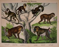 Primates, Mammals, Reptiles, Mandrill Monkey, Antique Paint, Zoology, Orangutan, Natural History, Animal Kingdom
