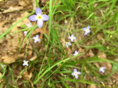 Bluets are found cross all of North America and come in a range of color from blue, lavender, white, purple and red. May Flowers, Wild Flowers, Spring Wildflowers, April Showers, North America, Purple, Blue, Lavender, Range