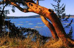 Madrona Tree = Bellingham Bay