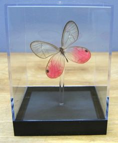 Glasswing Butterfly Including the Pink Glasswing Butterfly