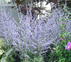 Blauschwingelgras festuca cinerea 39 blaufuchs 39 syn for Gartengestaltung joanna