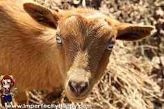 Best Dairy Goats for Beginners |ImperfectlyHappy.com