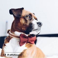 Stunning photo of @abbietherescue  #beautyinred . . #thriftypup #dogbow #dogbows #dogsinbows #bowsforpets #dogaccessories #dogfashion #upcycled #handmade #shopsmall #supportsmallbusiness #fancydogs #glamourgirl #stylishdog #dog #dogstagram #dogsofinstagram #doglovers #puppy #puppylove #puppiesofinstagram #dailyfluff #dogoftheday #rescuedog #boxer #beagle #brindle