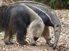 My absolute favourite wild animal - the Anteater