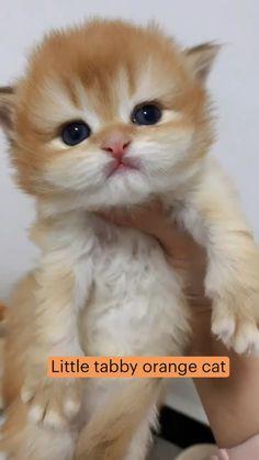 Little tabby orange cat
