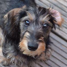 Newborn Miniature Dachshund Puppies Meet La Rena Baby A Cute
