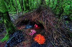 Unbelievably beautiful!  Work of the Bowerbird.  These little guys dance, collect, build, and create all for the sake of love and future.  True artists!!