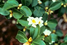 Camellia Seed Oil - containing Oleic acid has the ability to penetrate deep into the stratum corneum to enhance the effects of collagen and elastin.  Learn more @ GreatOrganicSkincare.com Camellia, Seed Oil, Organic Skin Care, Collagen, Nature, Plants, Skincare, Deep, Happy