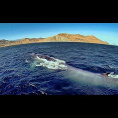 """Thank you Charles Harmer for sharing your #BajaCalifornia adventure with us: """"We made our way to Bahia de los Angeles. Once again, Bahia gifted us w/ another unreal experience. Fin whales, the second largest animal behind the Blue whale, were cruising in relatively shallow water. We had approximately an hour of ridiculous sightings w/ these """"greyhounds of the sea"""". Thank you Bahia!"""" Begin your Journey today! www.DiscoverBajaCalifornia.com"""