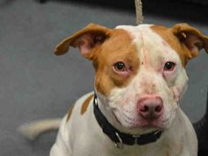 3/21/17 STILL THERE? Brooklyn Center BUTTER BALL – A1104795  **DOH HOLD – B**  NEUTERED MALE, WHITE / TAN, AM PIT BULL TER MIX, 2 yrs STRAY – STRAY WAIT, HOLD FOR DOH-B Reason BITEPEOPLE Intake condition UNSPECIFIE Intake Date 02/26/2017, From NY 11208, DueOut Date 03/09/2017