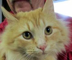 Meet Elijah, a Petfinder adoptable Maine Coon Cat | Olney, MD | Elijah-Maine Coon Mix, ~ 6-7 mo. (March 2015)Elijah was found as a stray kitten in the cold winter...