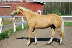 Rodeo II, a palomino Hungarian warmblood.