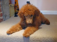 Sweet Tulah Belle! (Red Standard Poodle puppies are the cutest)