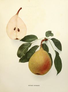 The pears of New York.. Albany,Lyon,1921.. biodiversitylibrary.org/page/6541299