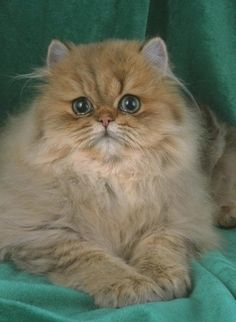 Persian Cat See more on Health Problems in Persian Cats Cute Cats And Kittens, I Love Cats, Crazy Cats, Kittens Cutest, Cool Cats, Pretty Cats, Beautiful Cats, Pretty Kitty, Animal Gato