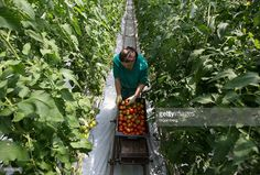 A farm worker picks tomatoes during harvesting in a greenhouse at the Yuzhny Agricultural Complex, operated by AFK Sistema, in Ust-Dzheguta, Russia, on Wednesday, May 18, 2016. The plump hybrid tomatoes, named for the fearsome tank that helped trounce Hitler, are the pride of the Yuzhny Agricultural Complex, a mass of greenhouses the size of 2,300 football fields between the Black and Caspian seas. Photographer: Andrey Rudakov/Bloomberg via Getty Images