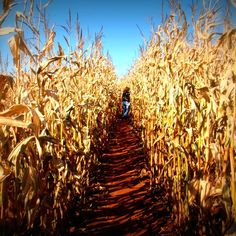 Corn maze! Go to one every year and every year I love  just walking through it. So peaceful and fun. Or racing through it with the younger church kids. Always a fun time though none the less its a tradition.