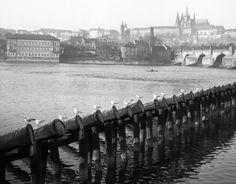 Pohled na Hradčany (743) • Praha, 1950 • | černobílá fotografie, Pražský hrad, Vltava, Karlův most, hráz s racky |•|black and white photograph, Prague|