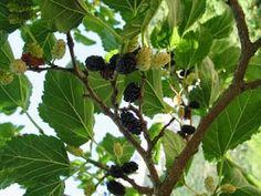 A MAGYAROK TUDÁSA: Gyógynövények alkalmazása, Gyűjtése - Fizikai és lelki gyógyulás Fruit, Plants, Food, Eten, Planters, Meals, Plant, Planting, Diet