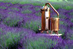 lavender farm Lavender Honey, Lavender Garden, French Lavender, Lavender Fields, Lavenders Blue Dilly Dilly, Lavender Recipes, Lavender Wreath, Purple Haze, Marigold