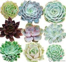Succulent Plants - Mixed wedding colors
