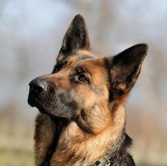 #German #Shepherd German Shepherd Photos, German Shepherd Breeds, Australian Shepherd, German Shepherds, Best Dogs For Families, Family Dogs, Big Dogs, Cute Dogs, Shiloh Shepherd