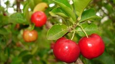 Health Benefits of Acerola Fruits and its Nutrition Facts