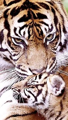 Female tiger loving on her cub Animals And Pets, Baby Animals, Cute Animals, Big Cats, Cool Cats, Beautiful Cats, Animals Beautiful, Female Tiger, In This World