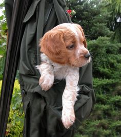 I Love Dogs, Puppy Love, Cute Dogs, French Brittany Spaniel, Hunting Dogs, Cool Pets, Beautiful Dogs, Dog Training, Dogs And Puppies