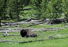 Yellowstone buffalo.