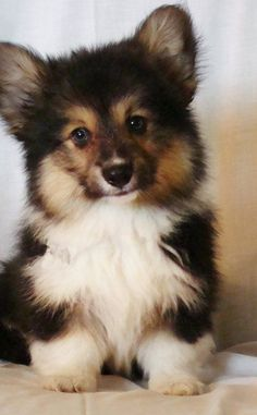 Fluffy corgi baby. I would like this one. This exact puppy. Right now please.