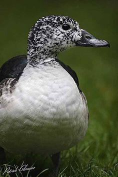 Knob-billed duck (Sarkidiornis melanotos) female