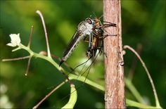 Robber Fly with booty