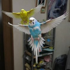 BEAUTIFUL Budgies in flight! Not mine but what a great shot!                                                                                                                                                     More