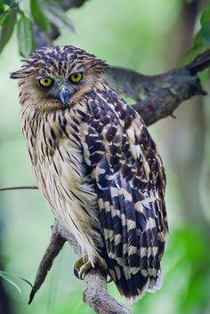 Buffy Fish-owl Adult!