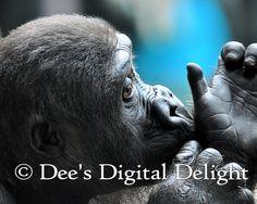 8x10 Baby Gorilla Photo Print Buffalo Zoo by DeesDigitalDelight, $20.00