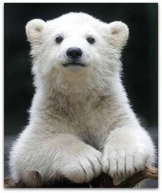 Un orso, un orso puccioso