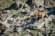 Jeune chamois à 3000m   Parc Naturel Régional du Queyras - Alpes - France NIKON D7000 + NIKON 70-200mm f/2.8 AF-S ED VR II + NIKON TC-14E II Teleconverter RAW + Lightroom v5.7 07/2016  #chamois #Queyras #Alpes #parcnaturelregionalduqueyras #montviso #rupicaprarupicapra #rupicapra #wildlife #isard #hautesalpes #nature #asti #coldagnel #Chasse #chasseur #hunt #hunting #randonnée #trek #hiking #montagne #mountain
