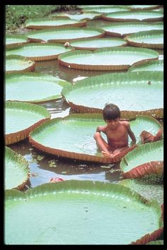 Lily pads of the Amazon. BRAZIL.