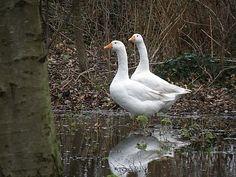 Swans, Farm Animals, Ducks, Pet Birds, Art Work, Turkey, Country, Sidewalk, Animales