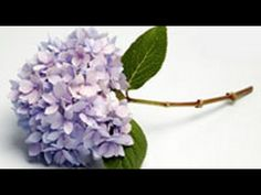 http://www.howdini.com/howdini-video-6671972.html (never heard of these tips before!!)    How to make lilacs and hydrangeas last longer    Don't you hate it when you bring home a big bunch of lilacs or hydrangeas and they wilt almost immediately? You have to know how to prep woody stemmed flowers properly if you want lasting bouquets, and floral designer Rebecca Cole shows you two ...