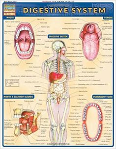 Which Of The Following Is An Accessory Organ Of Digestion The Human Digestive System  Pinterest  Human Digestive System