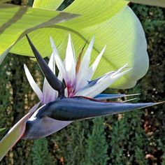 White Bird of Paradise; Originating in South Africa, this amazing plant is prized for its dark blue and white flowers that resemble tropical birds. The robust plants are great for the patio in southern areas where they can grow quite tall, or as a potted plant in colder areas where they can be controlled. Grows 5-10' tall