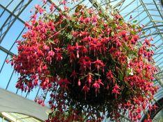 fushia hanging plants we always had them