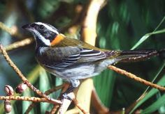 Puerto Rican National Bird-Spindalis