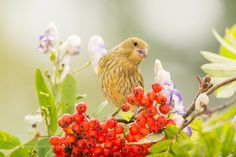 when berries get red by geertweggen #animals #animal #pet #pets #animales #animallovers #photooftheday #amazing #picoftheday